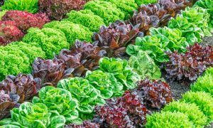 Colorful rows of green and purple lettuces